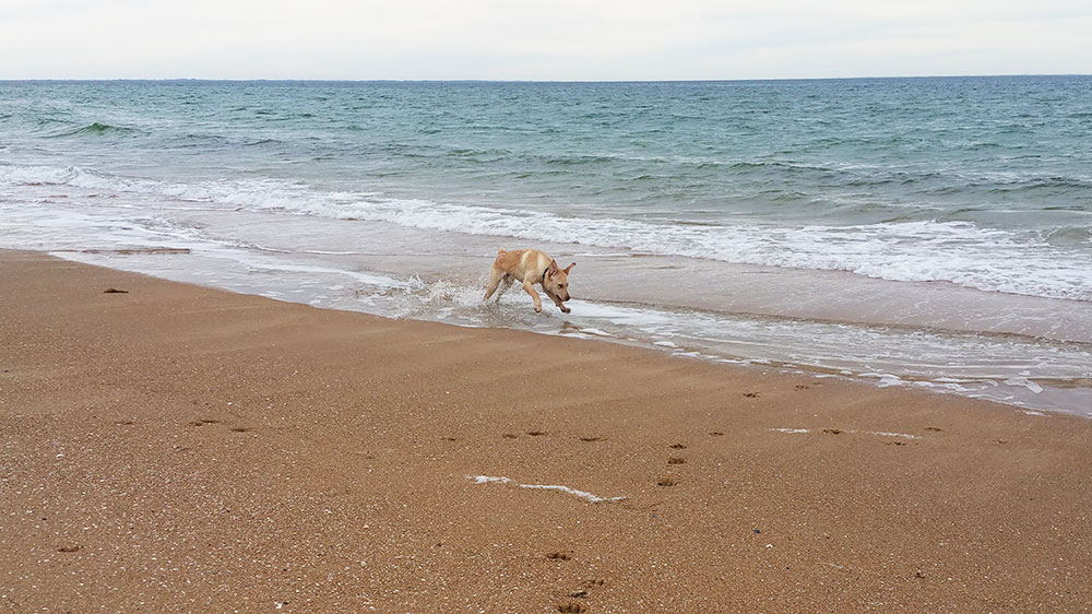 yellow labrador dog running and swimming on the beach