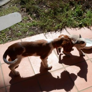 welsh springer spaniel puppy kisses a kitten