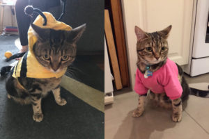 cat dressed up in fancy outfits