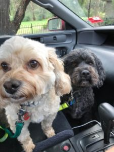 maltese poodle x and spaniel poodle x in the car front seat