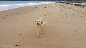 yellow labrador dog running on the beach