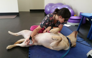 canine laser therapy and rehabilitation for leg injuries