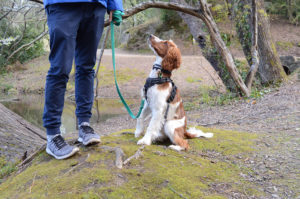 training a welsh springer spaniel puppy to sit