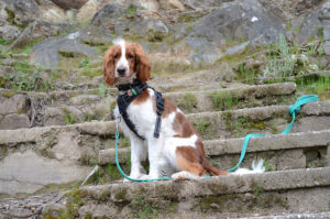 welsh springer spaniel dog goes for a walk with leash