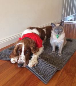 welsh springer spaniel dog sitting side by side with a cat