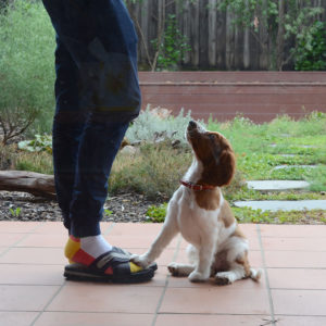 welsh springer spaniel puppy sitting obediently with one paw up