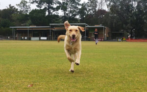 labrador dog running on the football field