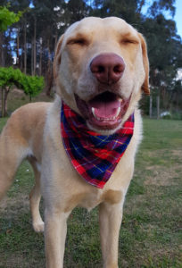 smiling labrador dog wearing a red tartan bandana