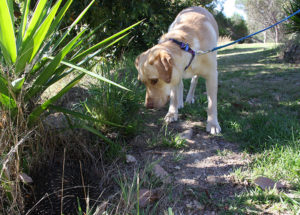 labrador dog spots and encounters an echidna on morning walk