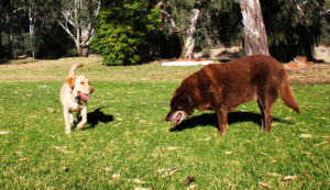 labrador and labrador x kelpie playing on the green grassy field