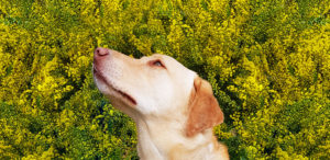 labrador dog sitting in front of yellow wattle shrub