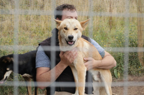Kevin Newman and Pumbah The Dingo at the Dingo Discovery Sanctuary, Research and Education Centre