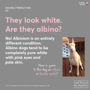Double merle dogs look white, are they albino?